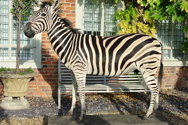 A taxidermy full mount Burchell's zebra. Hammer price £4,000.