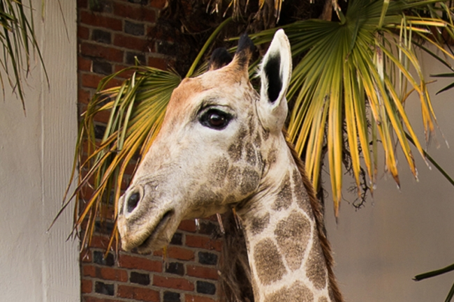 A 13ft tall full mount taxidermy Giraffe. Hammer price £10,000.