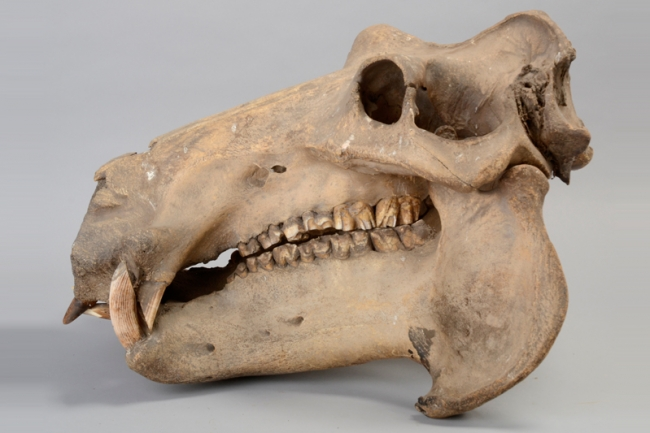A 19th century Hippopotamus skull from the Regimental Collection of the Queen's Royal Hussars. Hammer price £2,000.