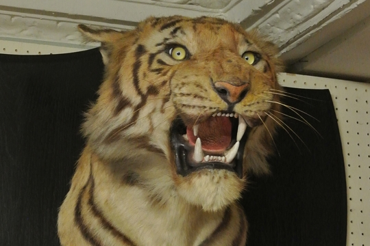 An early 20th century Van Ingen & Van Ingen Mysore man-eater taxidermy Tiger head. Hammer price £6,000.