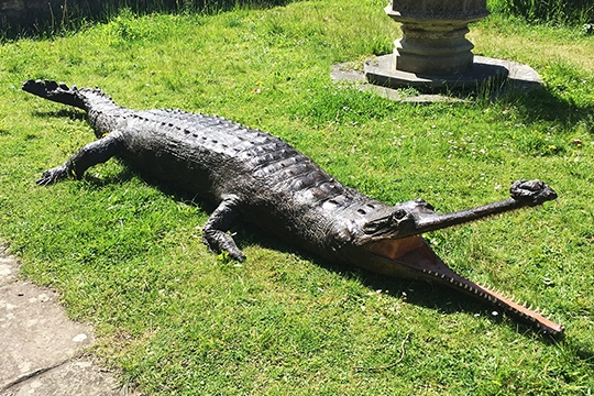 A 13ft victorian taxidermy full mount Gharial. Hammer price £5,000.